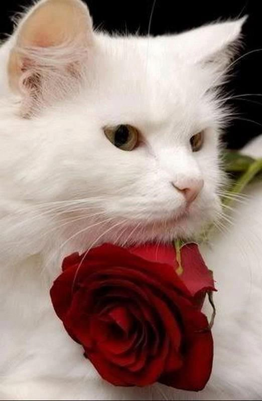 white cat, red rose - beautiful! | GARDENS | Pinterest ...