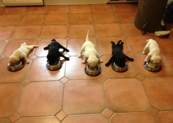 Meal time! {Lab Puppies}