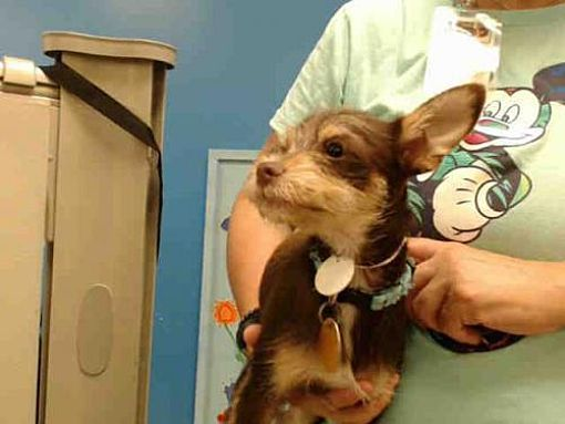 Houston Tx Chihuahua Meet Yung Nam A Dog For Adoption