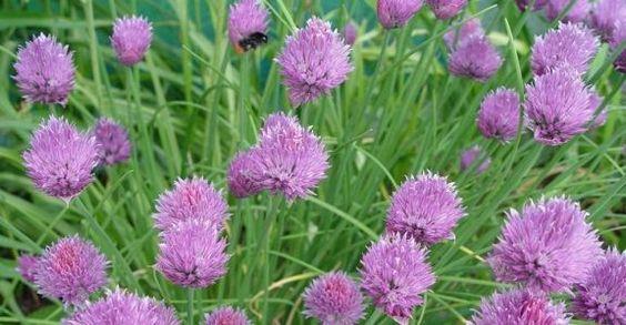 Bieslook - Allium Schoenoprasum - Het in Europa inheemse bieslook behoort tot de familie van de uien. De holle stengels worden vers en fijngehakt gebruikt. Chinees bieslook (Allium odoratum) heeft grotere stengels, bloesems die naar rozen geuren en smaakt naar knoflook.