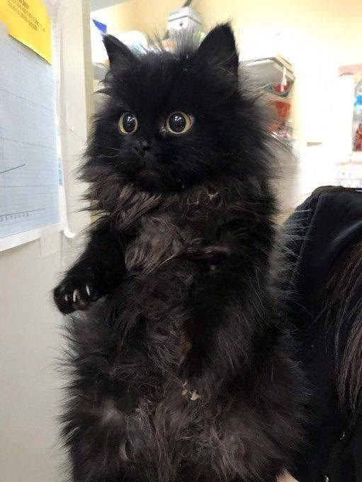 Honorable Collection Of Floofy And Majestic Cats Pretty Cats Cute Baby Animals Cats And Kittens