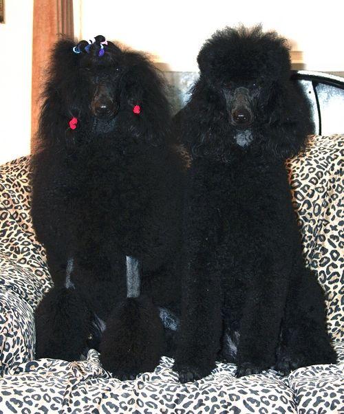 Standard Poodles Of Summermist World Class Breeders Of The World
