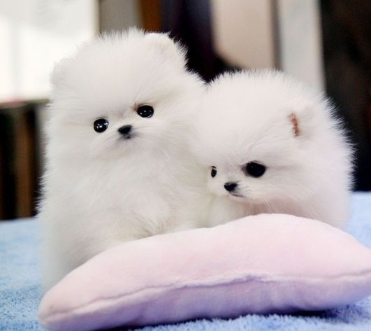 Lovely Ice White Bear Face Teacup Pomeranian Puppies For Adoption