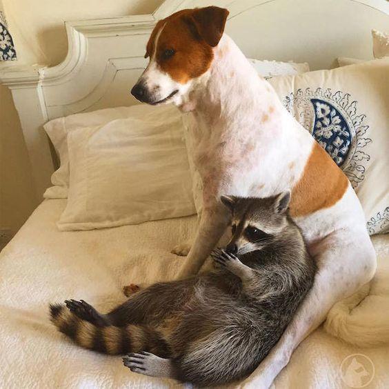 バハナの街に、自分の事を犬だと思って暮らしているアライグマ・パンプキンがいます。