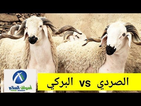 كبش العيد 2019 خروف العيد 2019 للاطفال اسواق السلام الرباط Youtube Animals Goats