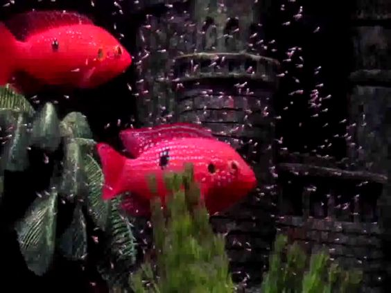 Male and female blood red jewel cichlid fish parents looking after ...