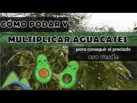 Cómo Podar Y Multiplicar Aguacates Ldn Youtube Enraizante Natural Aguacate Como Podar