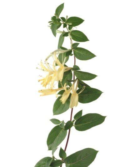 Ch vrefeuille sa signification dans le langage des fleurs le langage des fleurs toute la - Langage des fleurs amitie ...