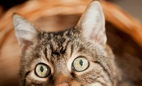 Is Your Kitty Confused? 4 Signs of Cognitive Dysfunction Syndrome