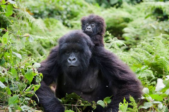 Photos really just don't do them justice - you must see these astounding animals in their own habitat!  (Uganda)