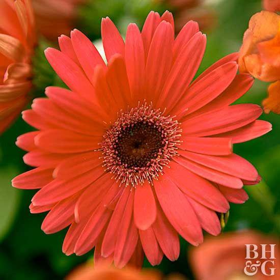 Gerbera Daisy With Images Gerbera Daisy Sun Loving Plants
