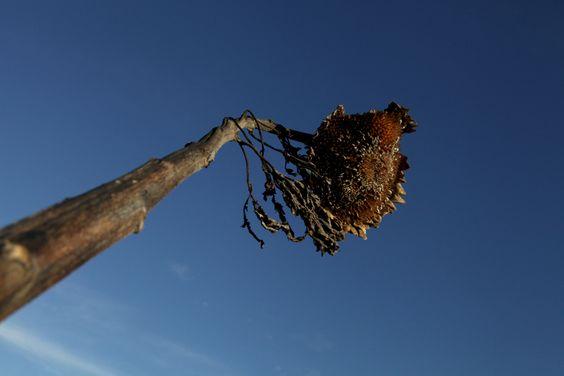 dead sunflower.