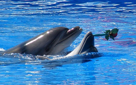 Delphin Rose