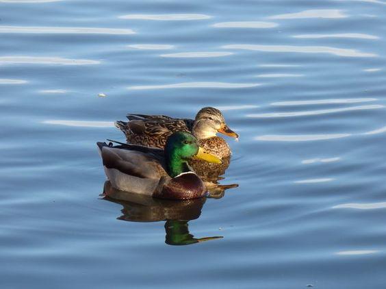 """Photo """"MallardDuckCoupleSwimming"""" by mcphoto2bug"""