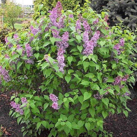 Tall shrubs for full sun bing images for Garden trees b q