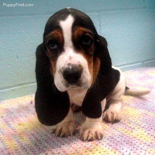 cute basset hound puppies - Google Search