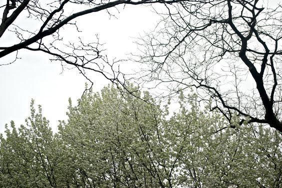 callery pear trees in nyc
