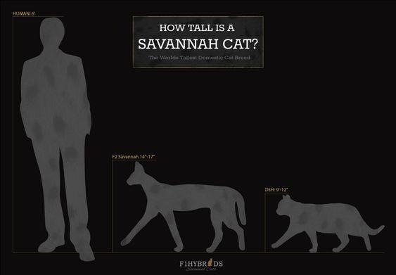 Savannah Cat Size Diagram Savannah Cat Savannah Chat Savannah