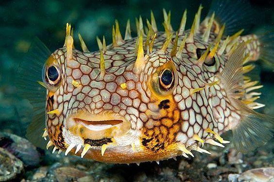 Web Burrfish (Chilomycterus antillarum) Lake Worth Lagoon, Riviera Beach, Florida. Photographer: Susan Mears, Florida.