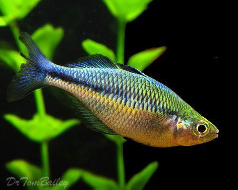 Australian rainbow fish in australian asian tank for Turquoise rainbow fish
