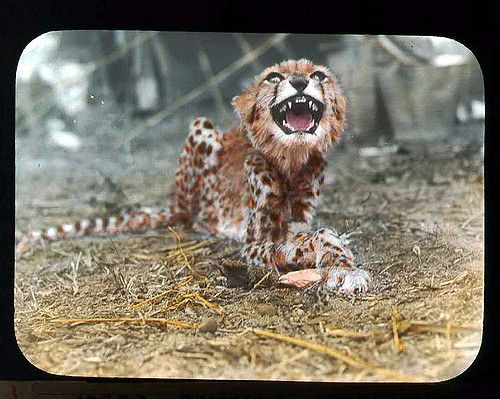 https://flic.kr/p/71Xxgy   Cheetah growling at camera   Young cheetah growling at camera, teeth bared. 1896.  Name of Expedition: Africa…
