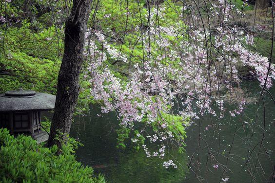 #cherry blossoms, #weeping cherry, #pond, #spring, #garden,