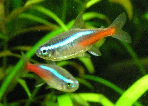 10 Best Tropical Fish For Beginners Neon Tetra Pet Fish Tropical Freshwater Fish