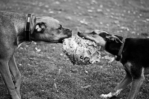 Mine no its mine! Photo credit: http://bit.ly/1LVK3C9 #rescuedog #dog #itsarescuedoglife
