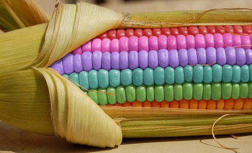 Rainbow of Corn - Pixdaus