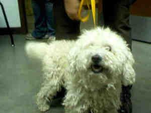 A3194988 is an adoptable Bichon Frise Dog in Phoenix, AZ.  ...