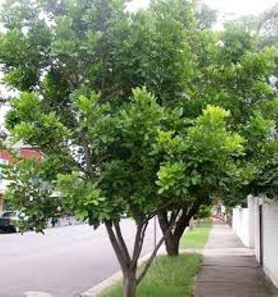 cupaniopsis anacardiodestuckeroo australian native tree screening plants