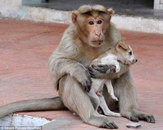Love knows no species! - Family: A rhesus macaque monkey in the southern India state of Tamil Nadu has adopted a homeless puppy - and cares for it as though it were its own baby