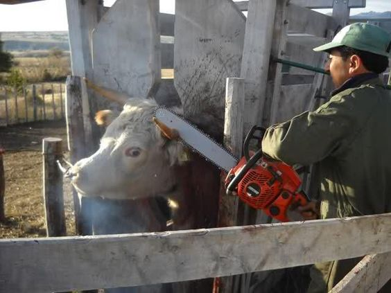 Dehorning of cows with a chain saw. Meet Your Meat.