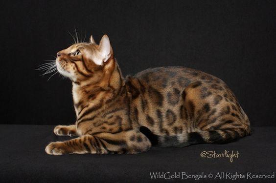 Adonis | WildGold Bengals