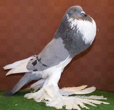 Afbeeldingsresultaat voor duif rassen