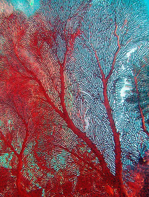 Red Coral Seafan - ©Jill Ehring - www.flickr.com/photos/jill_ee/2552356561/