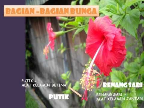 25 Gambar Bunga Sepatu Dan Bagian Bagiannya Bagian Bagian Bunga Youtube Gambar Bunga Sepatu Pinterest Hashtags Video And Account Di 2020 Bunga Gambar Kembang Sepatu