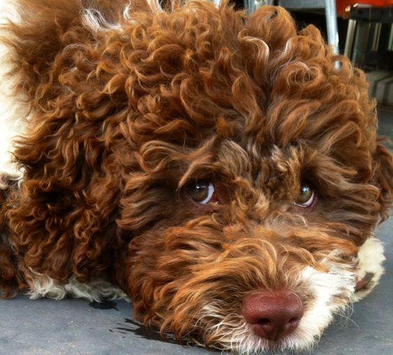 Lagotto Truffle Dogs: Lagotto Romagnolo Puppy