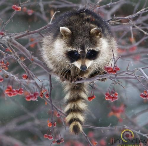 Winter Raccoon