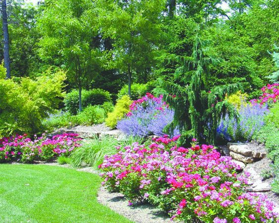 A weeping Alaskan cedar creates a focal point in a landscaped backyard while Knock Out roses and Golden Mops add pops of color.