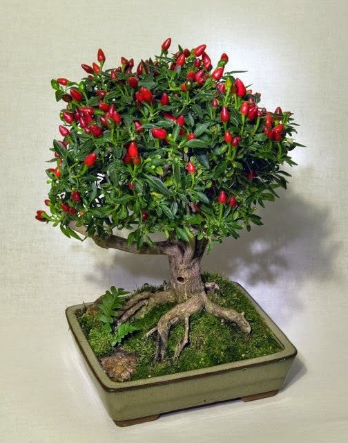Cara Membuat Tanaman Pohon Cabe Menjadi Hiasa Meja Pengganti Bunga Hidup Siapa Bilang Pohon Cabe Tidak Bisa Di Bonsai Tanaman Ide Berkebun Ornamen Taman