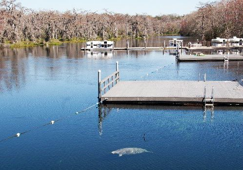 Manatee Swimming In Wakulla Springs Florida Fish Places To Go Happy Places