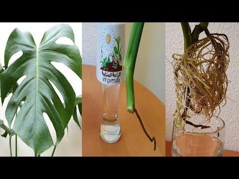 اكثار نبات القفص الصدري Youtube Plants Youtube