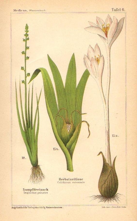 1893 Marsh Arrowgrass and Autumn Crocus Original Antique Chromolithograph to Frame
