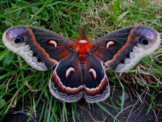 Cecropia moth. I found one in a plant I purchased.  Sadly, there wasn't much life left in him.