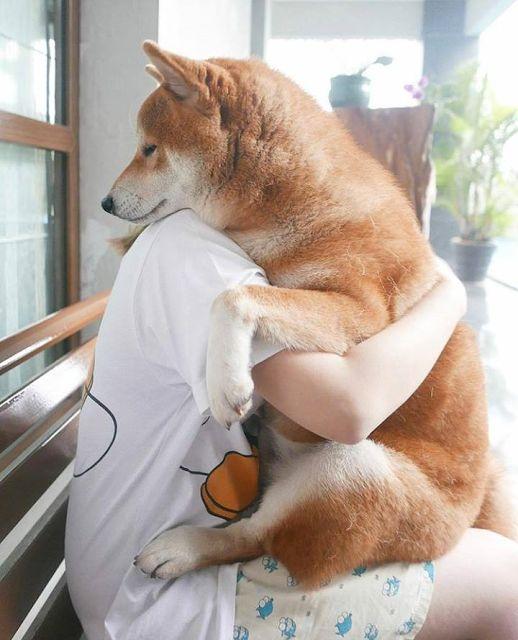 Shiba Inu hug