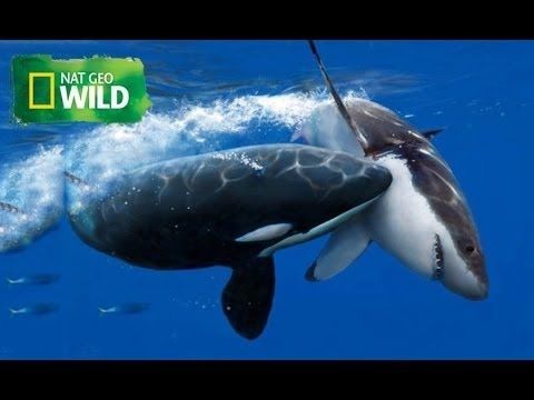 Video was removed due to copyrights Killer Whale Vs Great White shark - National Geographic WILD - HD 720p