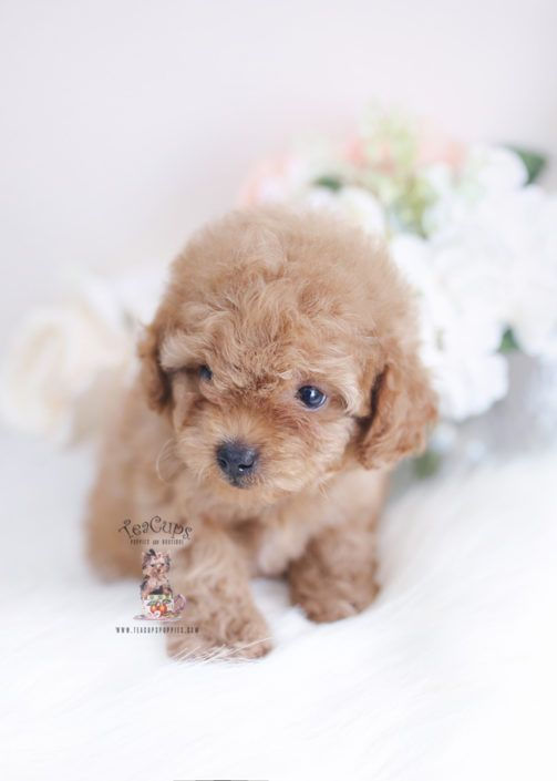 Toy Poodle Puppy For Sale Teacup Puppies 161 B Teacup Puppies