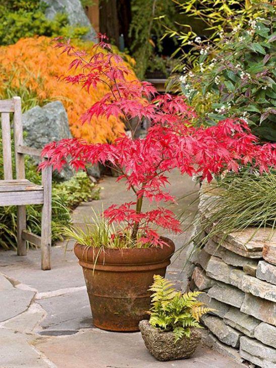 Planter Erable Du Japon : planter, erable, japon, érable, Japonais, Planté, #zengarden, #garden, #indoor, Landscaping, Plants,, Maple, Landscape,, Plants