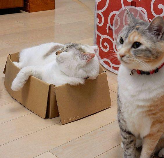 ちろ社長入浴警備中みー係長  #猫#ねこ#ネコ#cat#ぬこ#ふわもこ部#にゃんこ#ニャンコ#gatto#neko#kitty#gato#chat#kucing#고양이#kedi#チーム三毛猫#三毛猫#しま三毛チーム#白猫#みっちり箱猫 _ by yositakenyan http://www.australiaunwrapped.com/